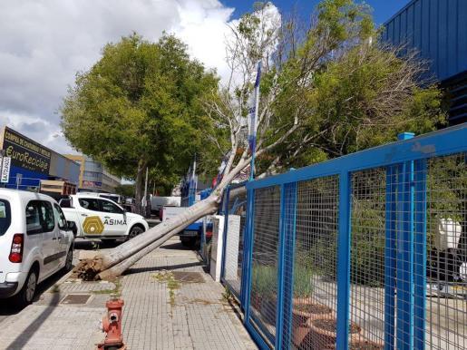 In Palmas Gewerbegebiet Son Castelló warf der Wind einen Baum um.